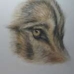 Wolf eye workshop study (Torak)